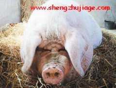 高温下猪场的的防暑措施