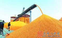 济南济阳县:近期玉米价格将呈持续下滑态势
