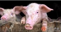 猪价上涨将是常态?听说,10月前猪价有变动?