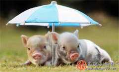 与其过度关注涨跌几毛的猪价,不如养好猪!