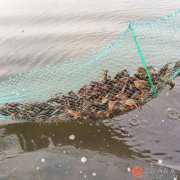 小龙虾养殖一年挣多少钱?小龙虾养殖项目技术成本计算