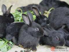 黑金兔价格,黑金兔养殖要多少投资,黑金兔养殖靠谱吗?