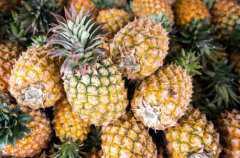 近期菠萝价格多少钱一斤?脱水加工技术要点有哪些?