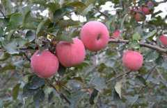 苹果树一般什么时间种?附无公害的管理技术要点
