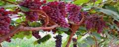 葡萄叶片的各种病