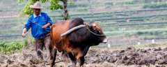 一头母牛可以繁殖几年