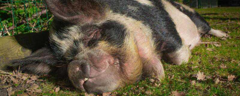非洲猪瘟的症状
