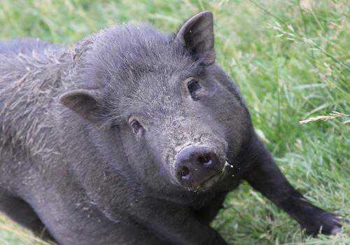 非洲猪瘟的防治