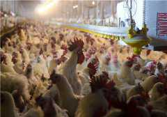 2019年养鸡赚钱吗?全新合作盈利模式你必须了解!