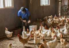 2019年适合农村创业的项目有哪些?这些生态养鸡不了解一下吗!