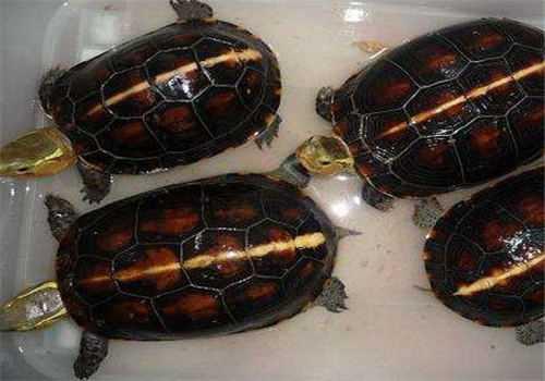 安缘龟的作用