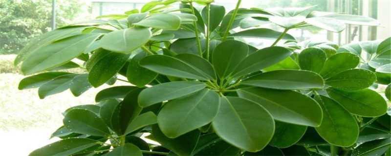 八方来财树的种植方法