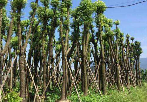 香樟树移栽技术