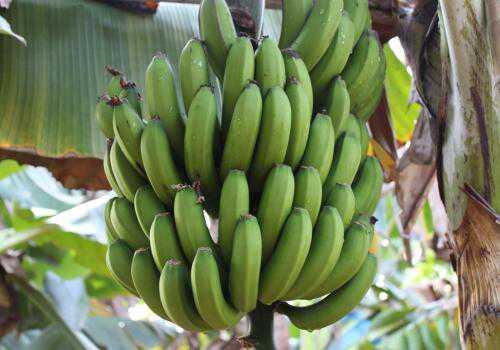 结果的香蕉树