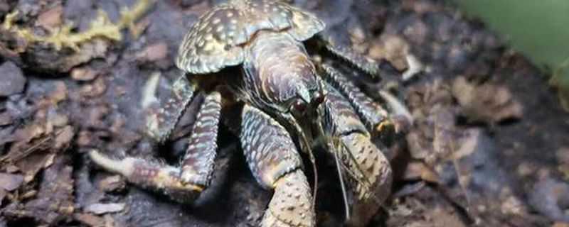 椰子蟹怎么养