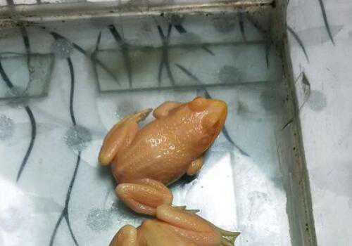一只小金蛙