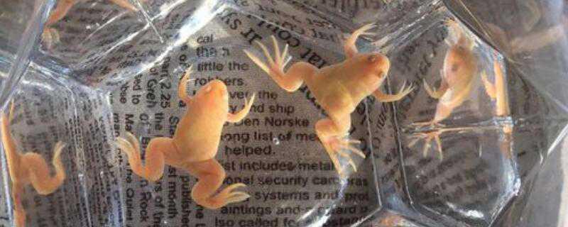 饲养的小金蛙
