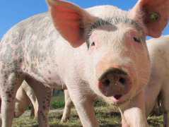 2019生猪价格已经涨到30元一斤!冯永辉预测价格还将上涨!