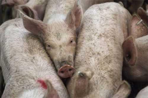非洲猪瘟人吃了会怎样