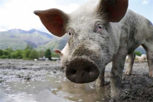 非洲猪瘟症状