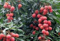 荔枝种植技术:应及时进行嫁接换种