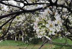 杏树花期是什么时候?遇到冻害的预防措施有哪些?