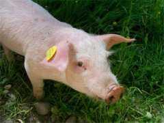 非洲猪瘟什么时候能全面解除?得了猪瘟的猪圈还能再养猪吗?