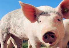 非洲猪瘟几年后能养猪?国家是这样规定的!