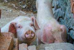 2019因非洲猪瘟捕杀的猪有高额补助,你拿到了吗?