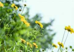 野菊花的功效与作用有哪些?与菊花有什么区别?