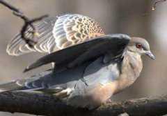 棕斑鸠是什么鸟类,怎么驯养呢?