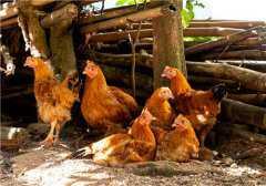 近期鸡肉价格上涨原因是什么?来看看分析师怎么说!