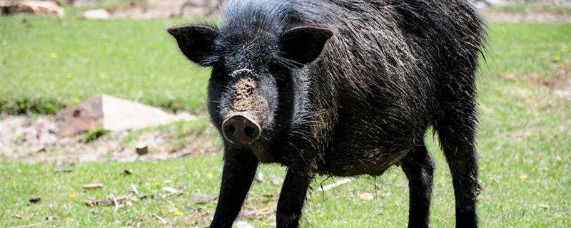 母猪猪瘟什么症状