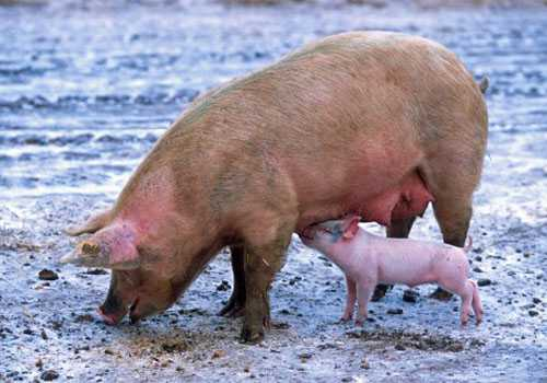 母猪难产怎么办