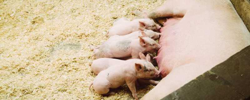 母猪难产症状