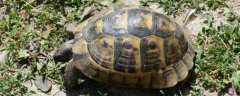 中华草龟什么时候下蛋