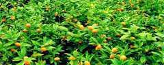桔子树种植技术
