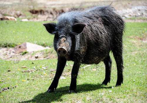 三类特色生态养猪