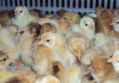 今日蛋鸡苗价格是多少?饲养要点有哪些?