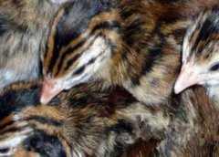 孔雀蓝山鸡苗价格多少钱一只?如何养殖?