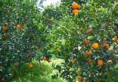 橙子树可以和什么树嫁接?什么时间、方法要记好!