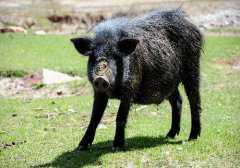 香猪多少钱一只?作为宠物怎么喂养呢?