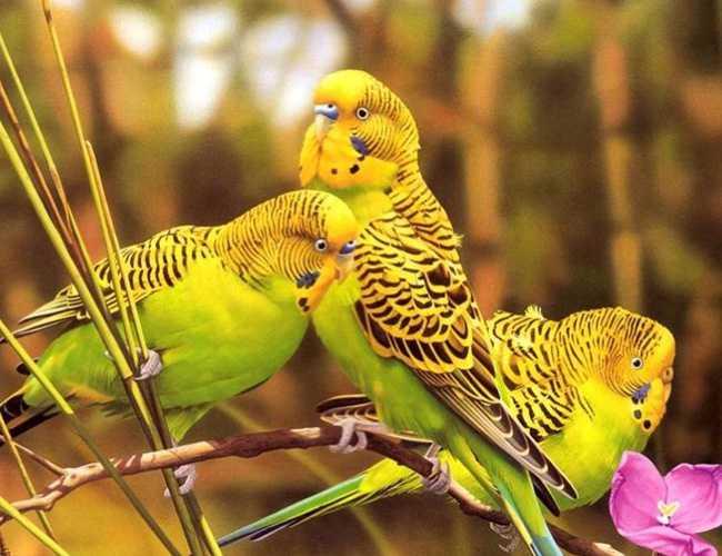 虎皮鹦鹉怎么繁殖