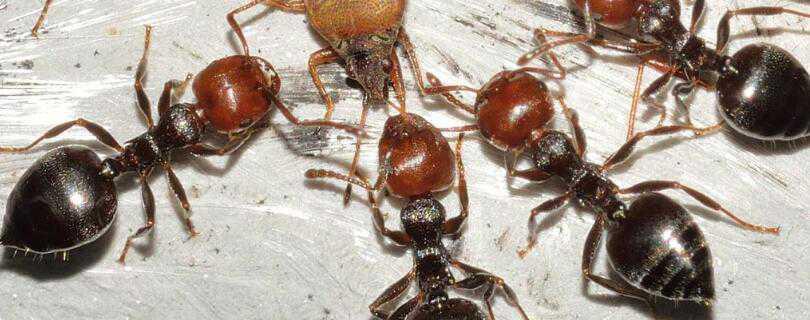 蚂蚁是怎么繁殖的