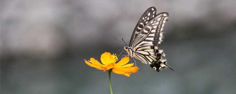 蝴蝶怎么过冬?