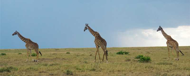 长颈鹿怎么过冬?