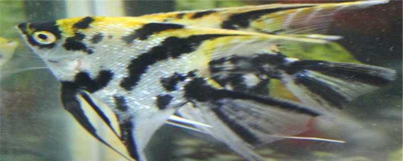 燕子鱼繁殖方法