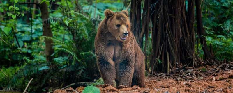 熊是什么科动物