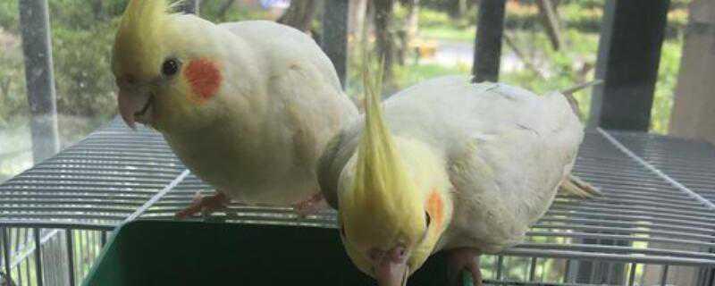 玄凤鹦鹉怎么繁殖