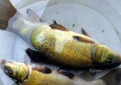 现在丁桂鱼价格多少钱一斤?养殖技术要点有哪些?